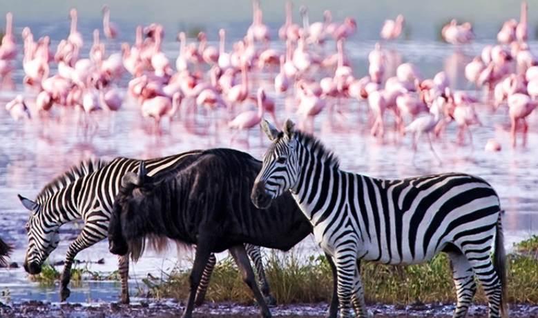 AFRICA (ZEBRA)