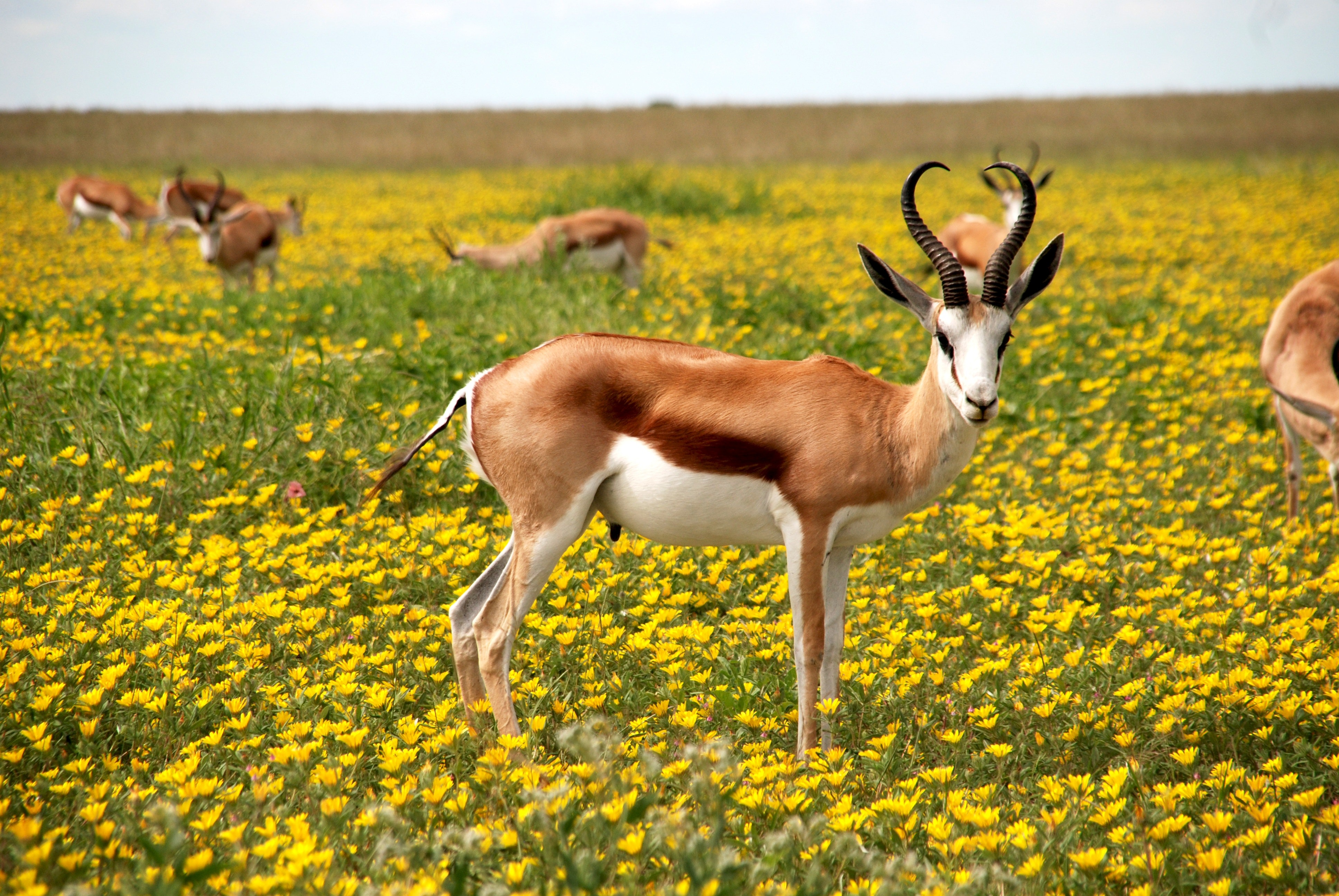 animals-antelopes-bloom-52961